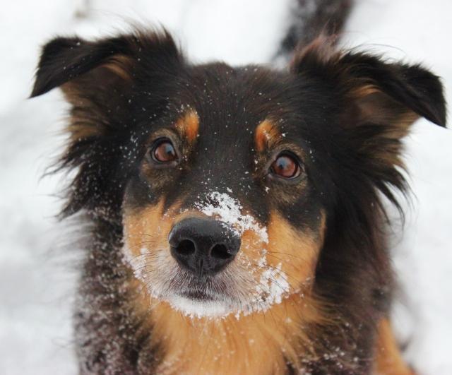 Snöpromenad med hundarna 018