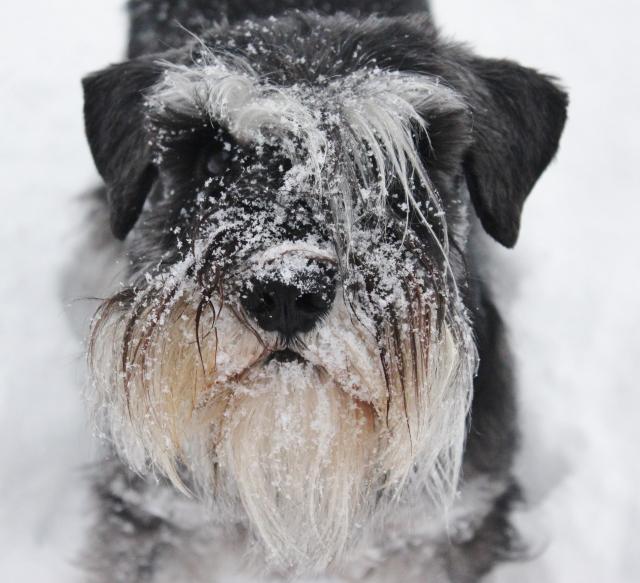 Snöpromenad med hundarna 022