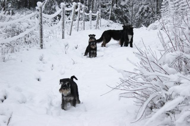 Snöpromenad med hundarna 005